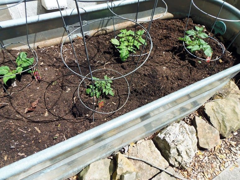 Caged Tomato Plants