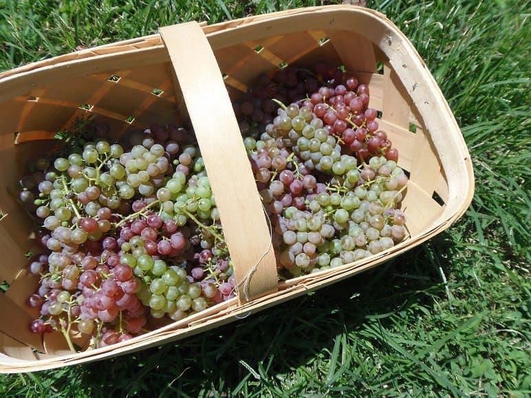 Grape Harvest
