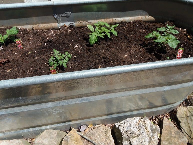 Properly Spaced Tomato Plants