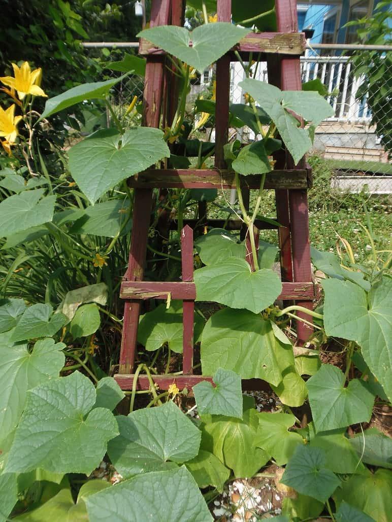 Trellised Cucumbers
