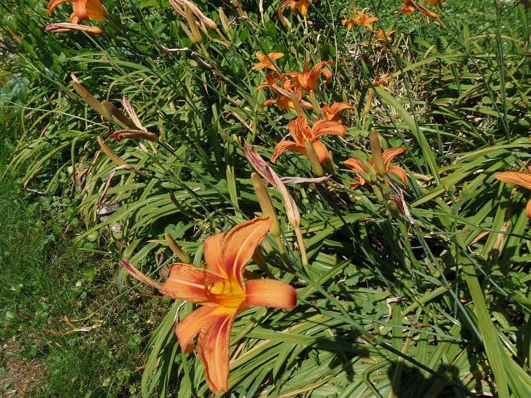 Daylilly Bed