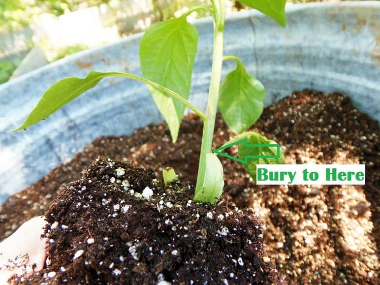 How Deep to Plant Pepper Plants
