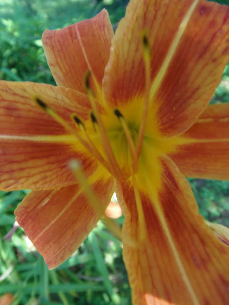 Pink-Orange Daylillies