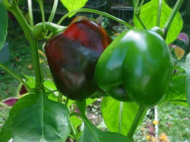 Ripening Peppers