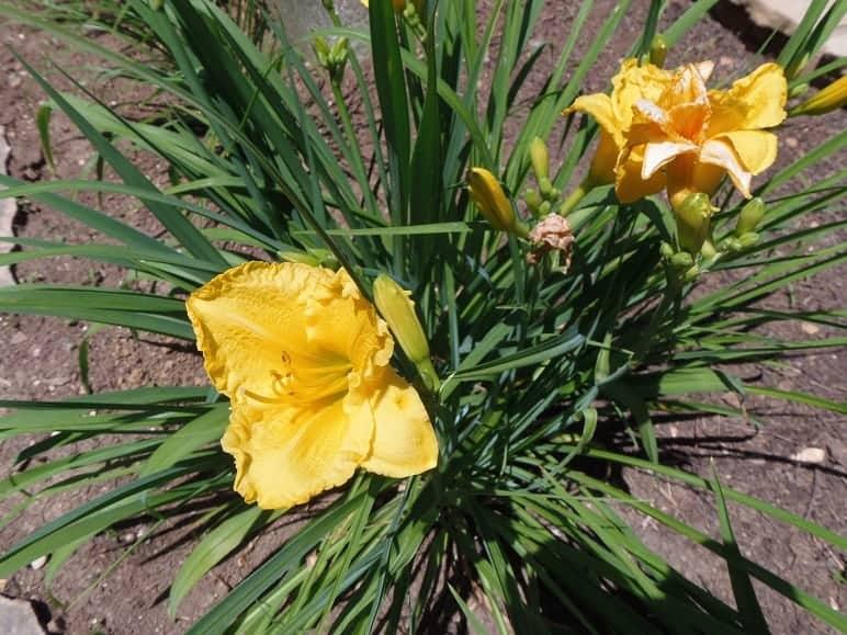 Yellow Daylillies