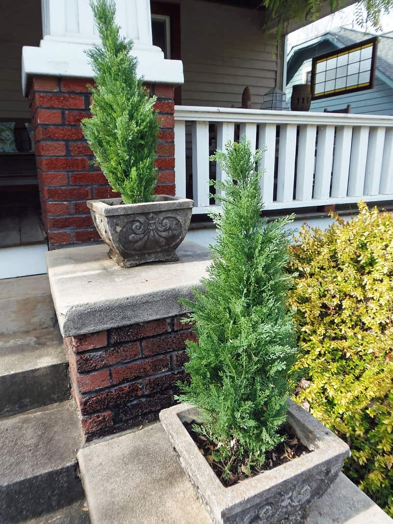 Fake Arborvitae in Pots