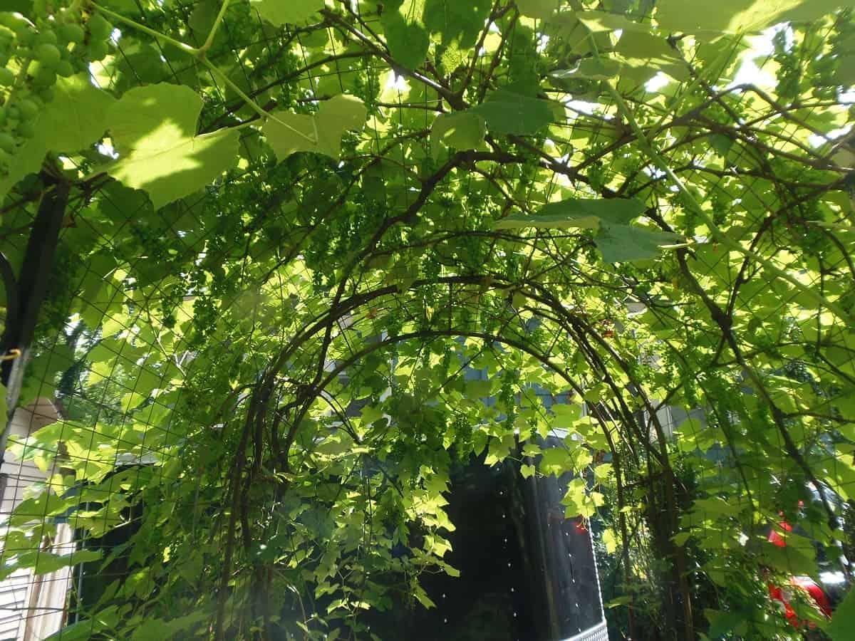 Garden Tunnel With Mature Grape Vines