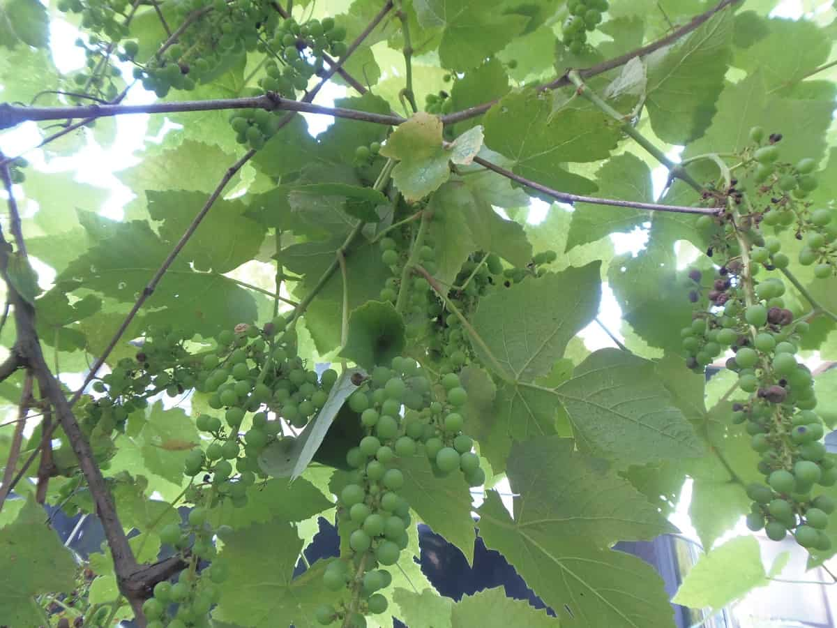 Grapes Growing on Garden Tunnel