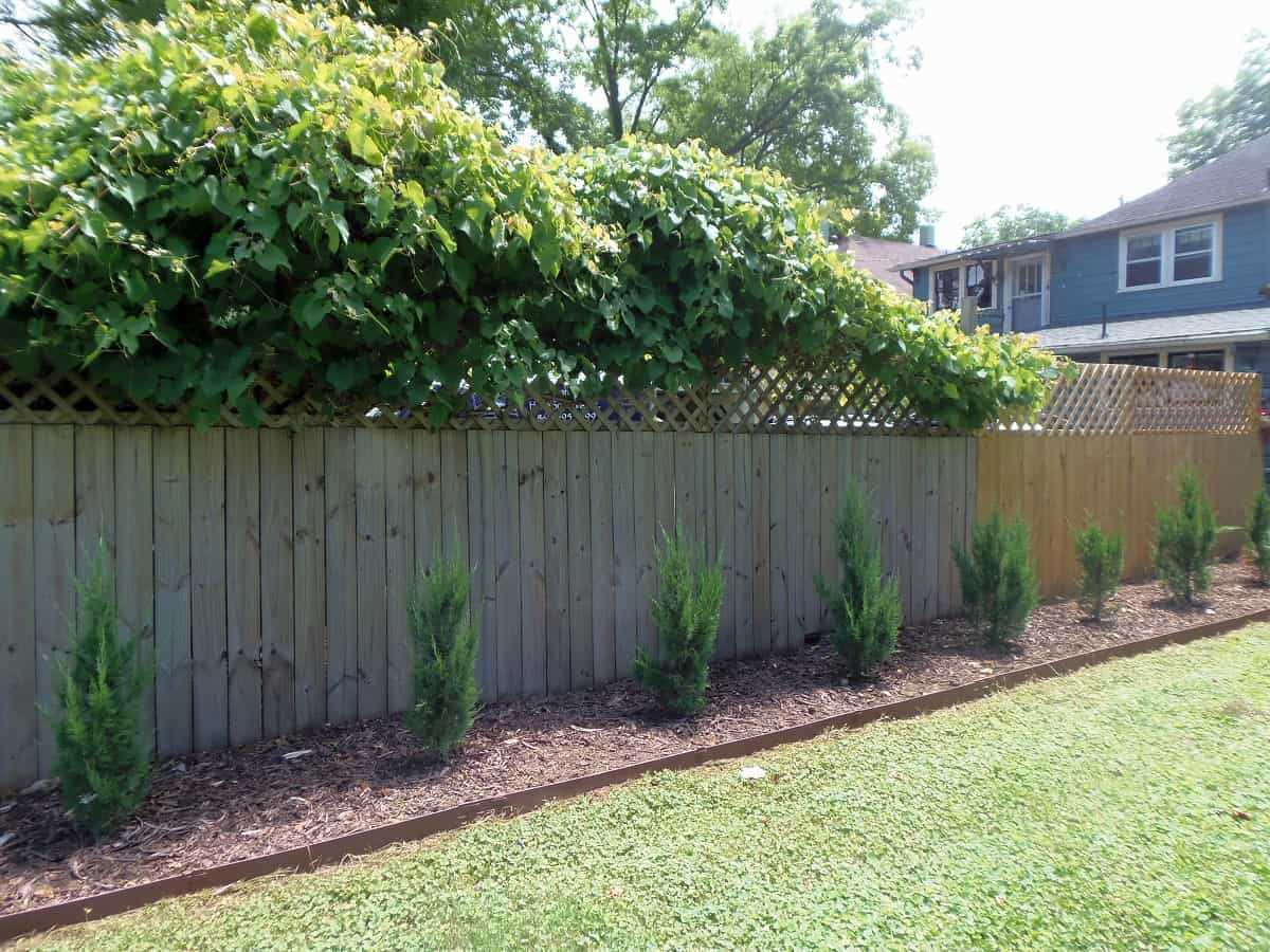 Junipers and Privacy Fence