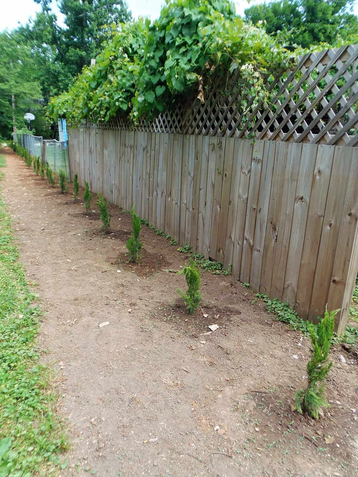 Privacy Plantings in Front of Fence