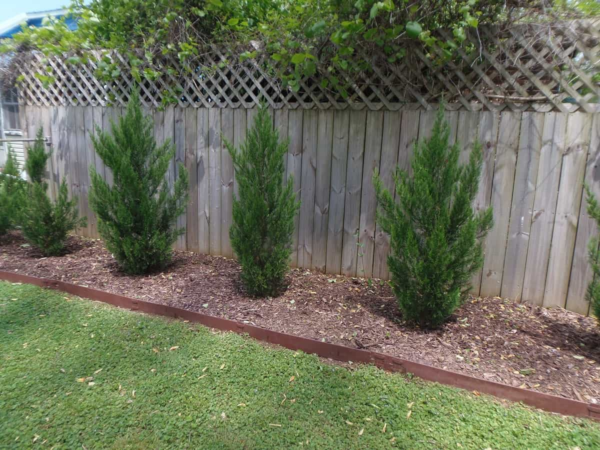 Spartan Junipers Two Years After Planting Along Fence