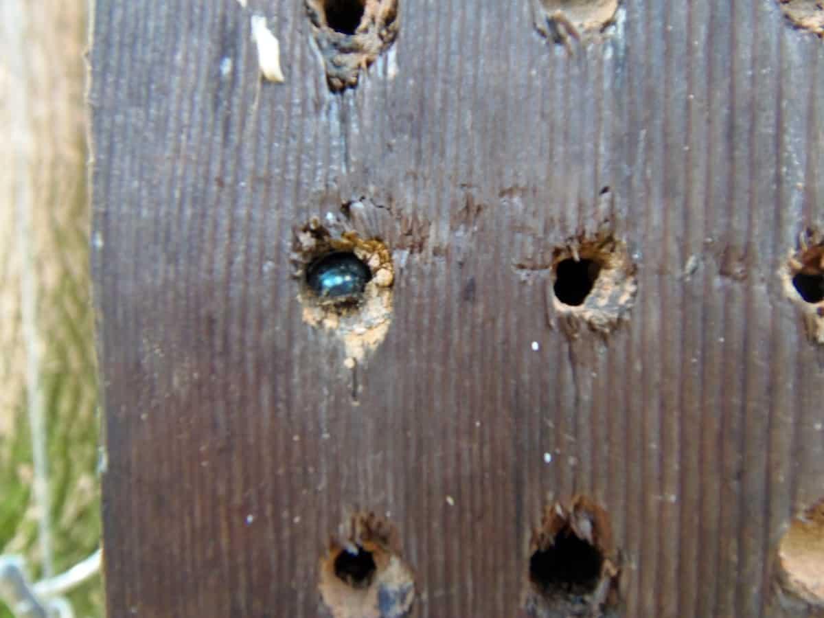 Mason Bee Laying Eggs in Mason Bee House
