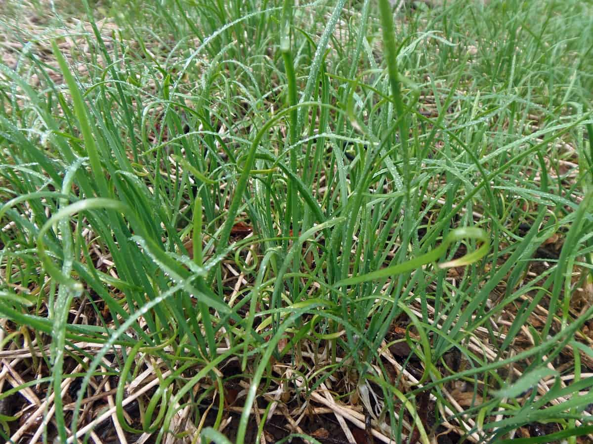 Chives After Treating With Insecticidal Soap