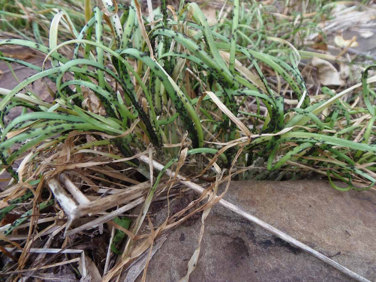 Onion Thrip Infestation on Chives