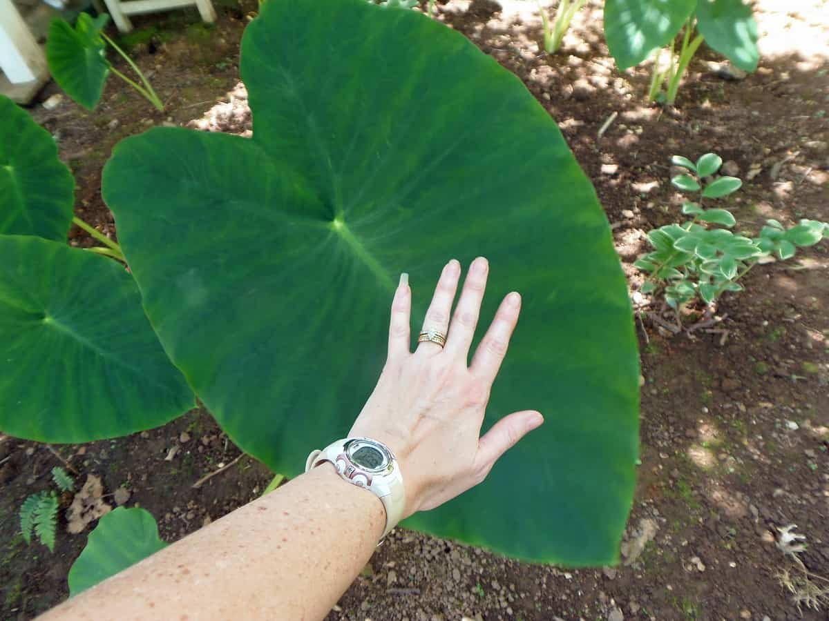 Photo Showing Size of Elephant Ears