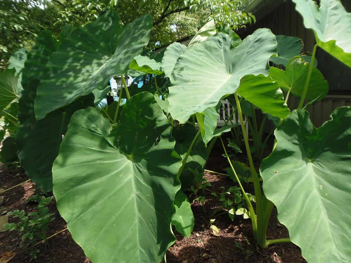 Closeup of Elephant Ears