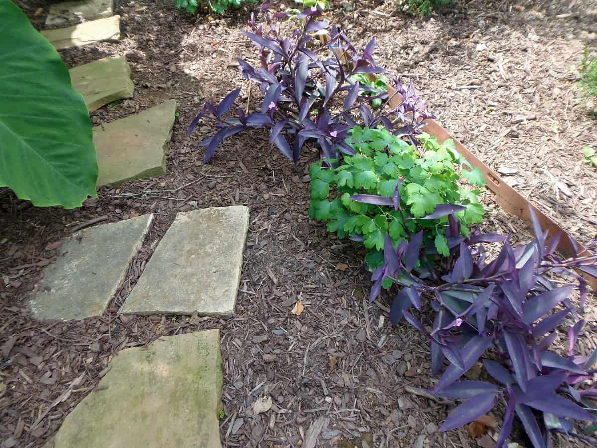 Purple Heart and Corydalis