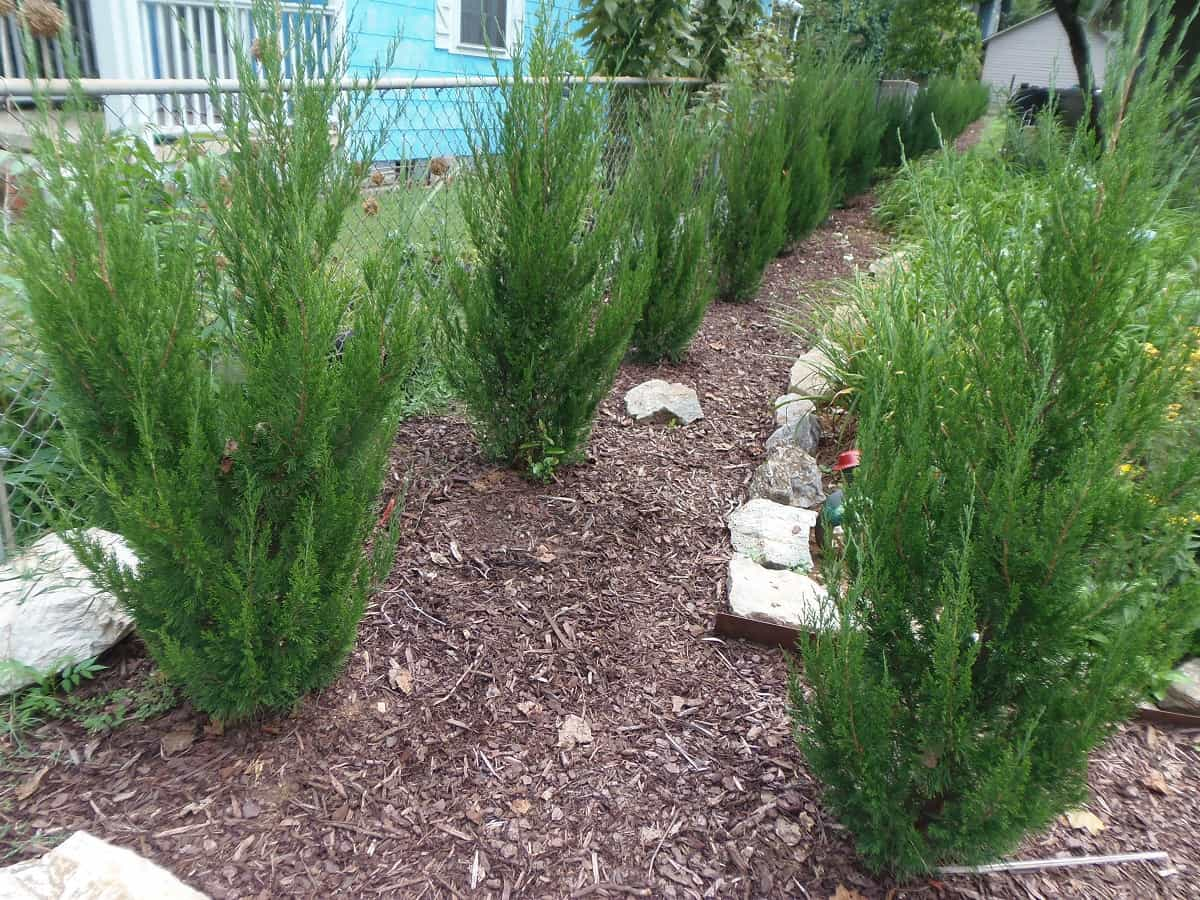 Spartan Junipers One Year After Planting