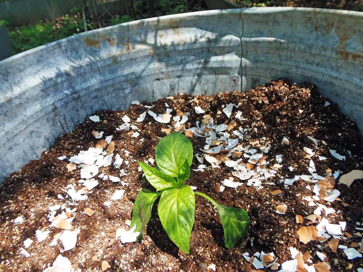 Deter Garden Pests With Crushed Eggshells