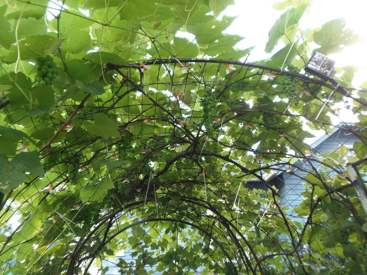 Grape Arbor With New Bee Solar Lights