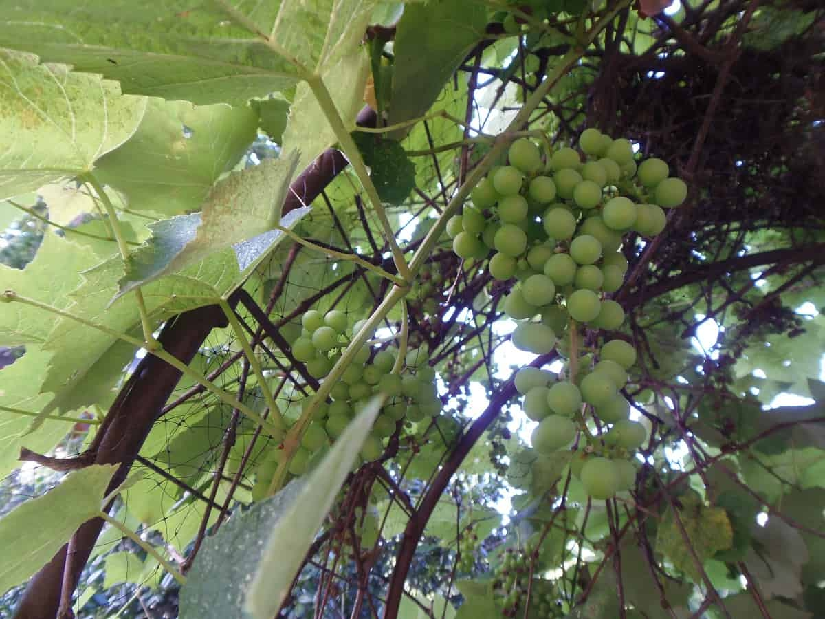 Grapes Growing on Arbor