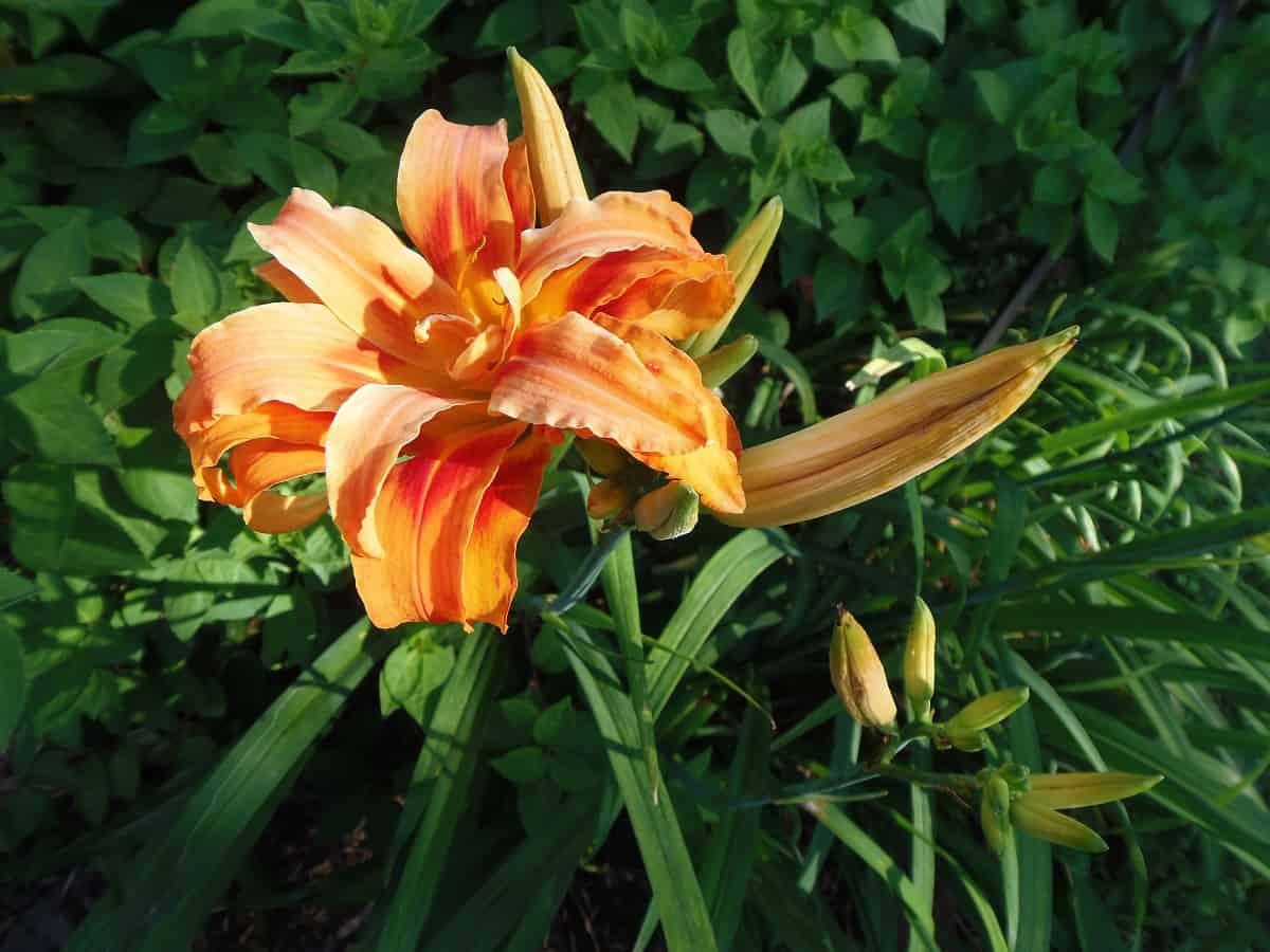 Orange Daylillies